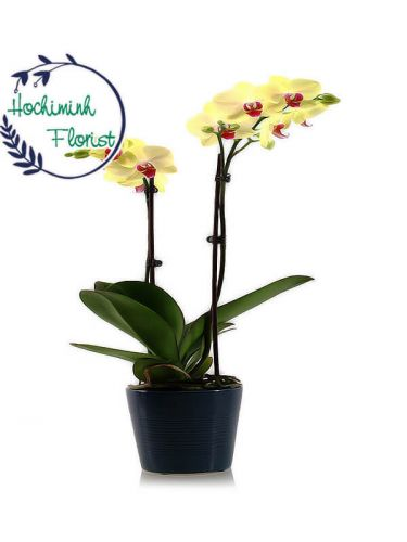 Yellow Orchid In A Vase